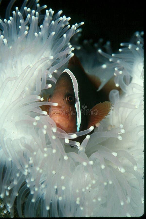 Peixes do palhaço no Anemone branco fotos de stock royalty free