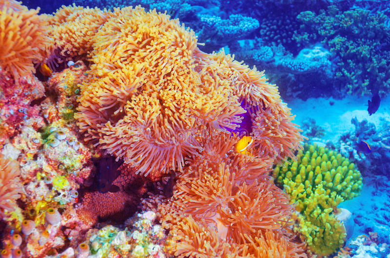 Peixes do palhaço no jardim coral fotografia de stock royalty free