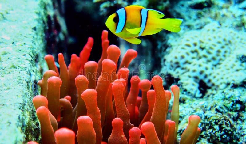 Peixes do palhaço no Mar Vermelho foto de stock royalty free