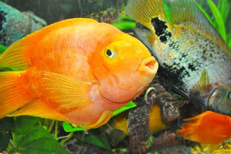 Peixes do papagaio fotos de stock royalty free