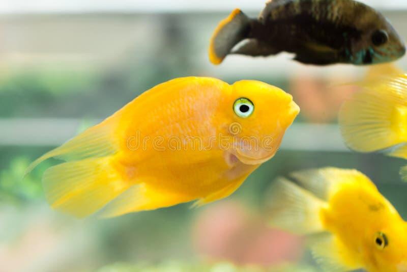 Peixes do papagaio A cichlidae do papagaio do sangue do aquário ou sabido mais comumente e anteriormente como a cichlidae do papa imagens de stock