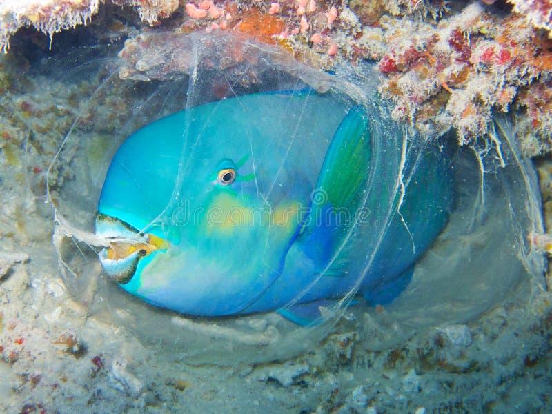 Peixes do papagaio que dormem dentro do casulo debaixo d'água durante um mergulho da noite em um recife de corais fotografia de stock
