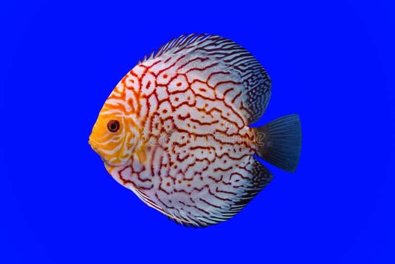 Peixes do Pompadour imagem de stock