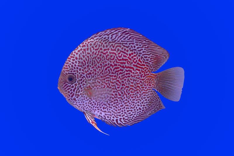 Peixes do Pompadour fotos de stock