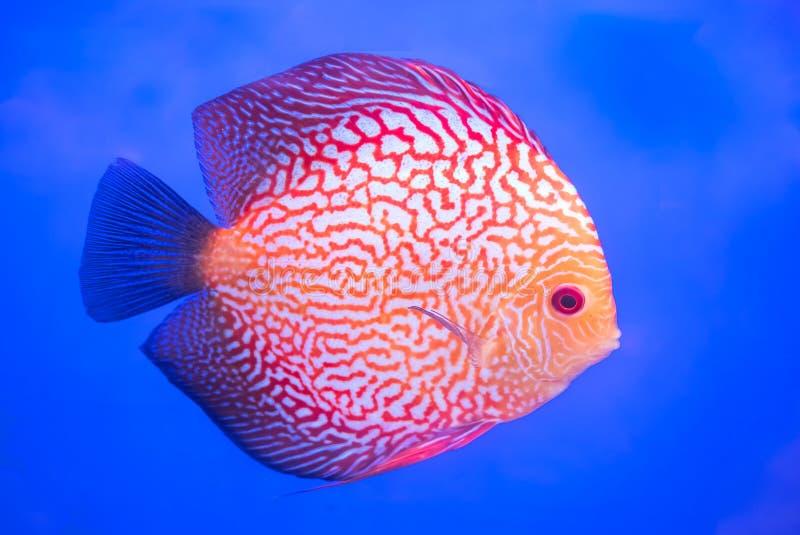 Peixes do Pompadour, peixes do aquário imagens de stock