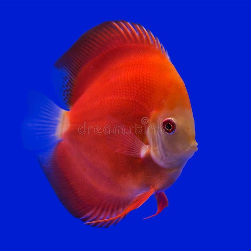 Peixes do Pompadour (disco) fotos de stock