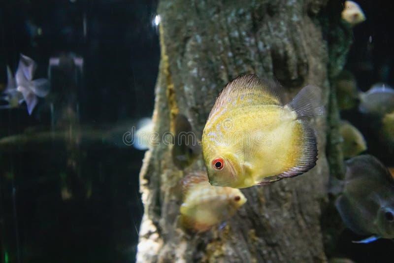 Peixes do Pompadour no aquário fotos de stock royalty free