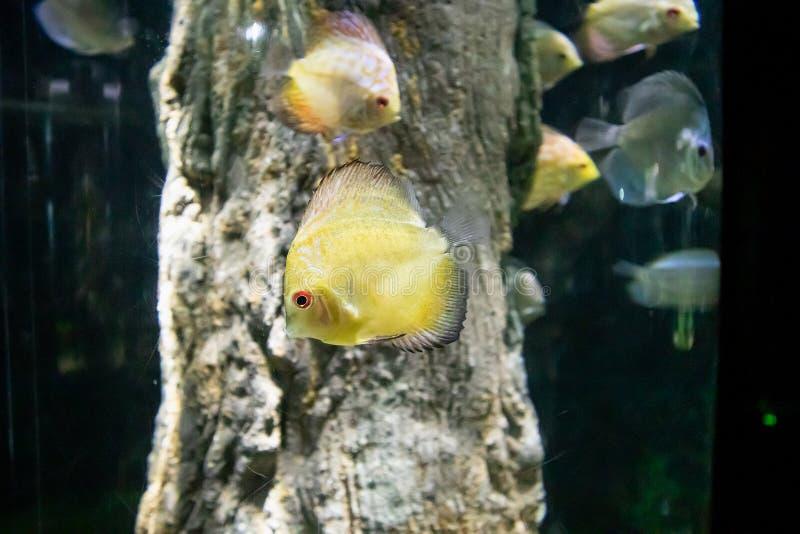 Peixes do Pompadour no aquário imagens de stock royalty free