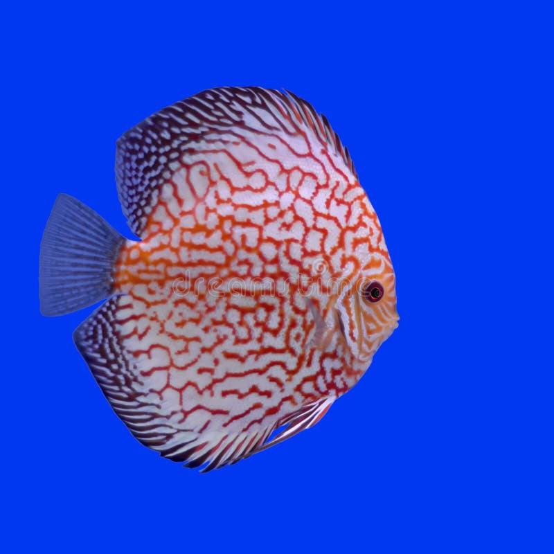 Peixes do Pompadour ou do symphysodon fotografia de stock