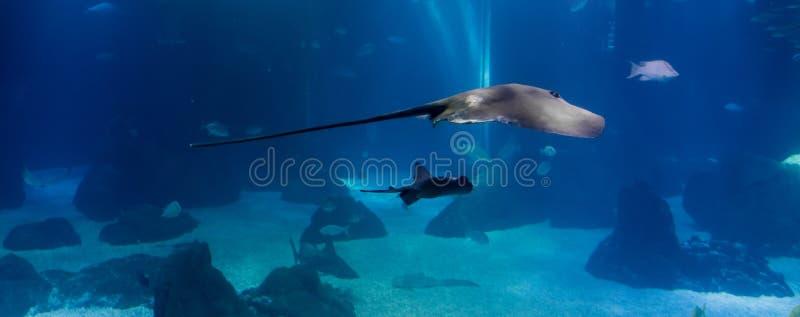 Peixes do raio de Manta que nadam em um habitat oceânico fotos de stock