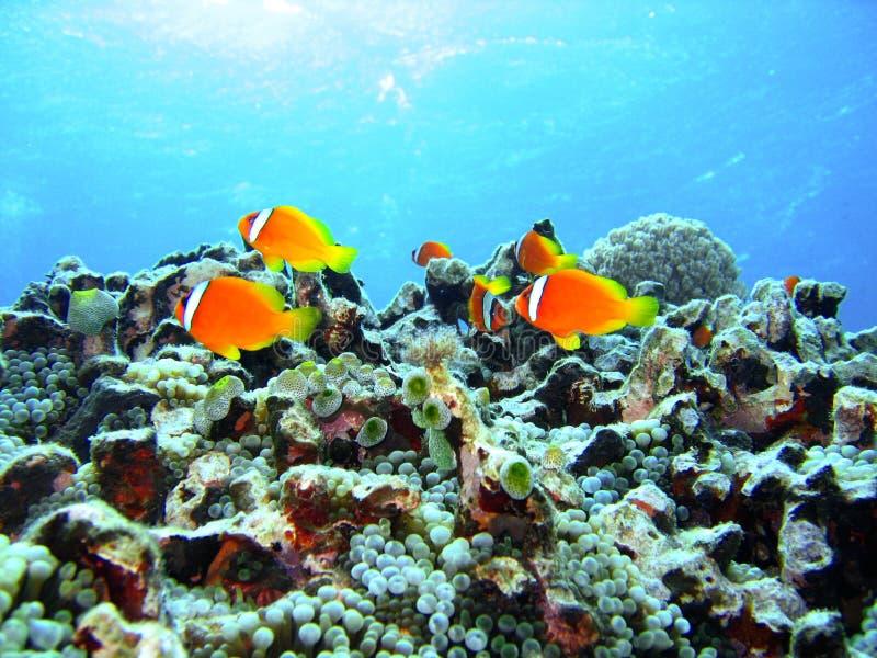Peixes do recife coral imagem de stock royalty free