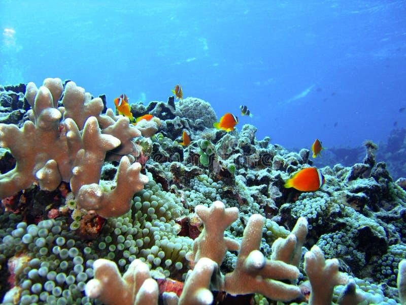 Peixes do recife coral imagens de stock