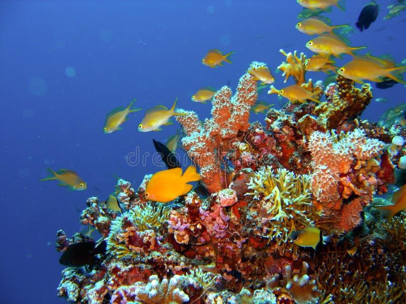 Peixes do recife coral foto de stock royalty free