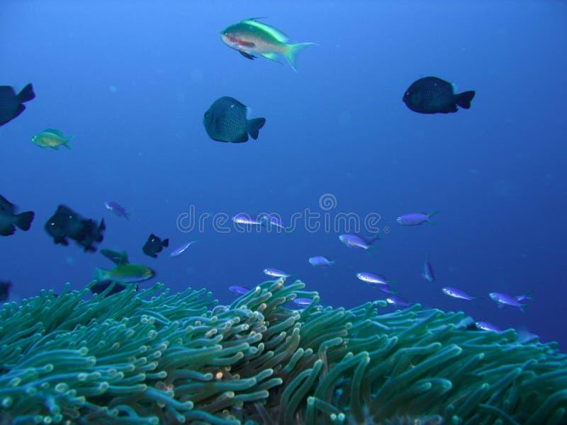 Peixes do recife coral fotografia de stock royalty free