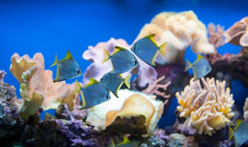 Peixes do recife de corais foto de stock