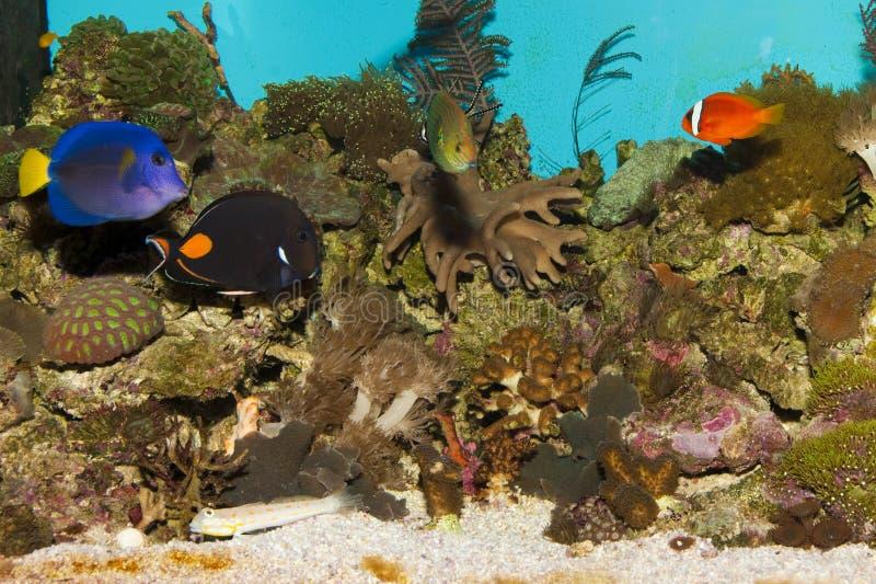 Peixes do recife de corais no aquário foto de stock
