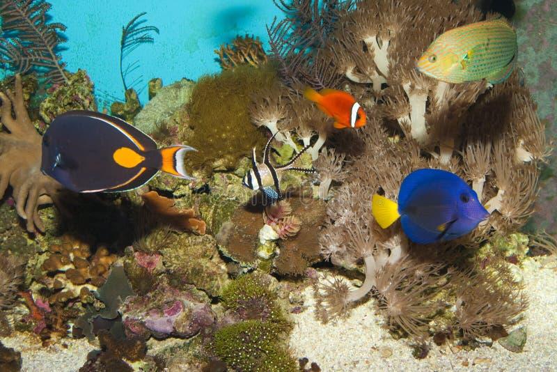 Peixes do recife no aquário fotografia de stock