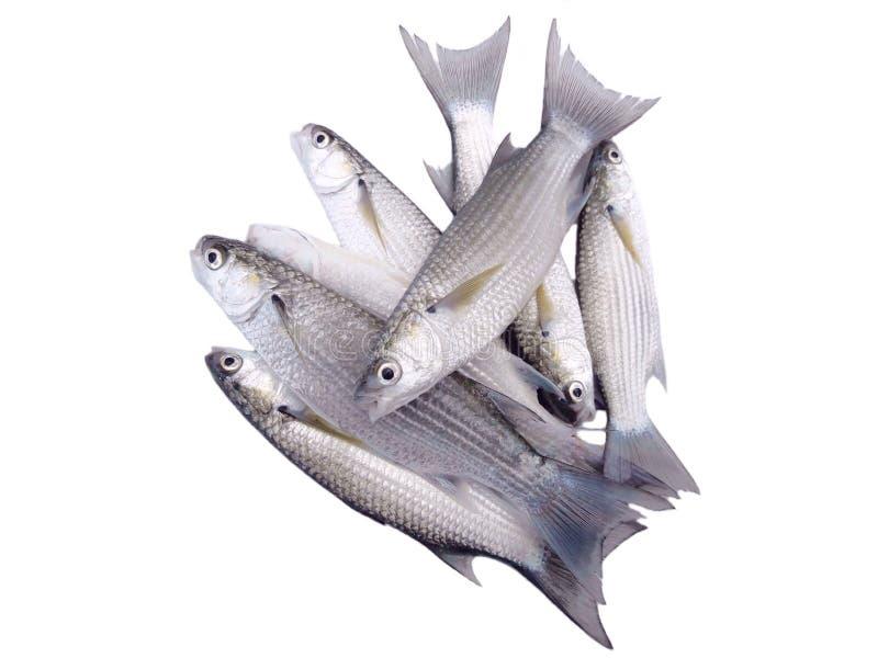 Peixes do salmonete do mar isolados no branco imagens de stock royalty free