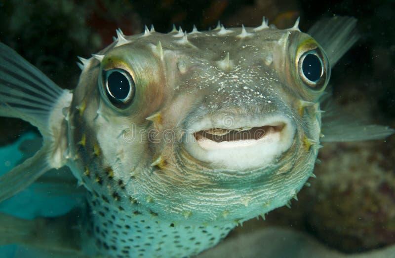 Peixes do soprador fotografia de stock