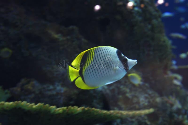 Peixes do tanque do recife fotos de stock