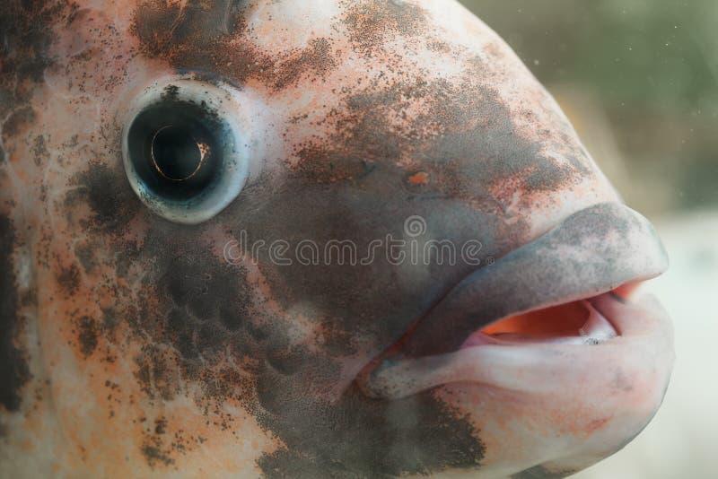 Peixes do Tilapia imagem de stock