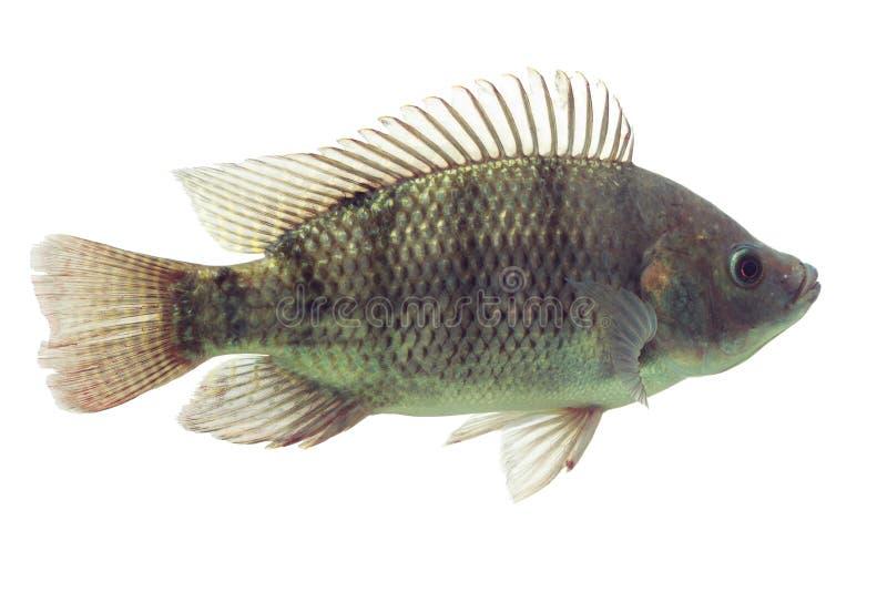 Peixes do Tilapia de Oreochromis Mossambicus fotografia de stock