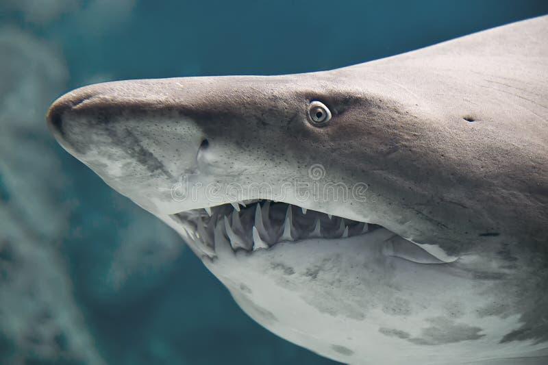 Peixes do tubarão fotos de stock