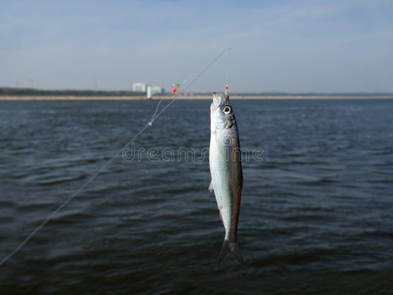 Peixes dos arenques fotografia de stock