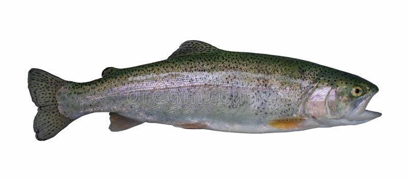Peixes dos salmões da truta arco-íris isolados no fundo branco imagem de stock royalty free