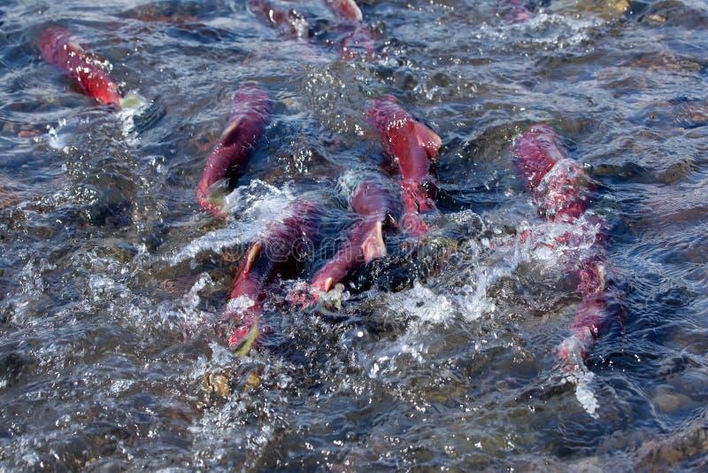 Peixes dos salmões que desovam perto acima no rio da montanha imagem de stock