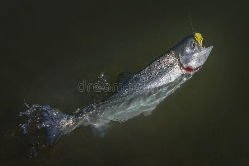 Peixes dos salm?es da truta arco-?ris travados na ?gua Fundo da pesca da ?rea fotografia de stock royalty free