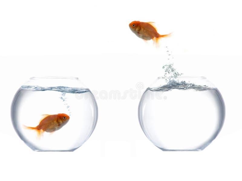 Peixes dourados de salto mim imagens de stock royalty free