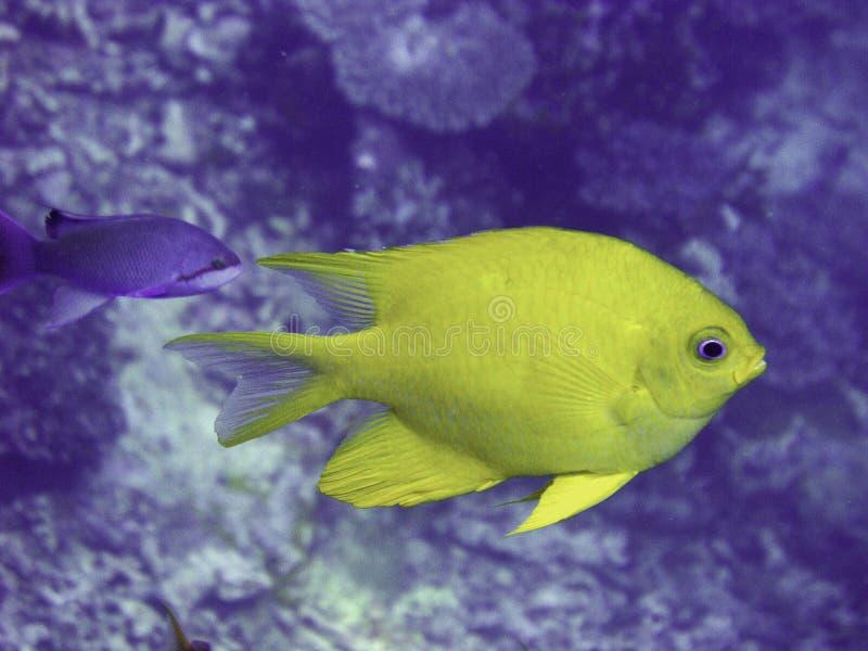 Peixes dourados do damsel fotografia de stock