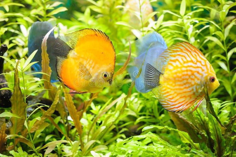Peixes dourados do pompadour do disco imagem de stock