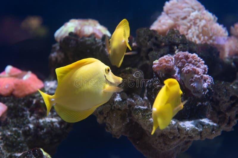 Peixes e corais de Zebrasoma no aquário fotos de stock royalty free