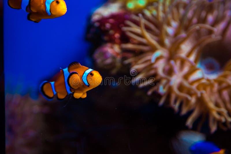 Peixes e corais tropicais imagens de stock