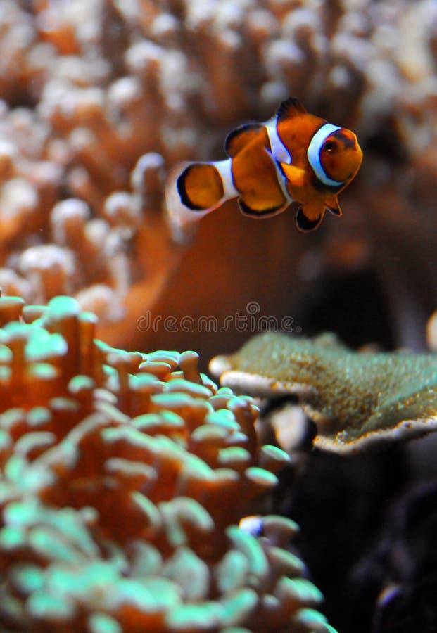 Peixes e coral do palhaço imagem de stock royalty free