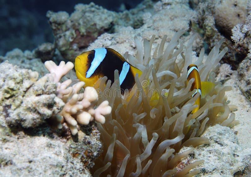 Peixes e coral tropicais imagens de stock