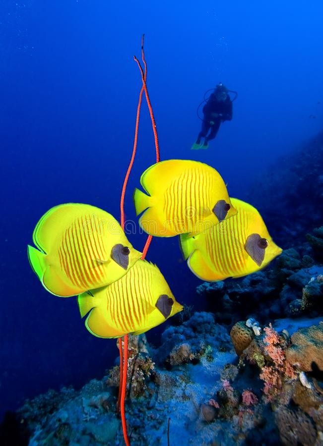 Peixes e mergulhador mascarados da borboleta fotografia de stock royalty free