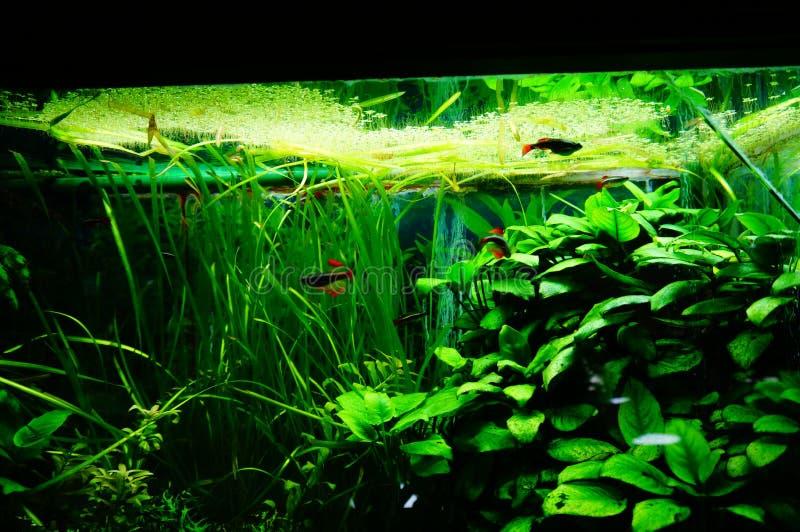 Peixes e vegetação do aquário fotografia de stock royalty free