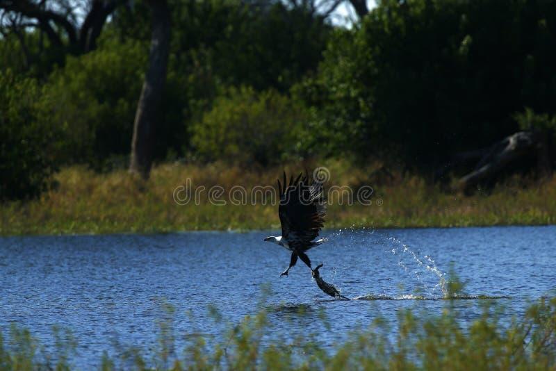 Peixes Eagle africanos que trava da água fotos de stock