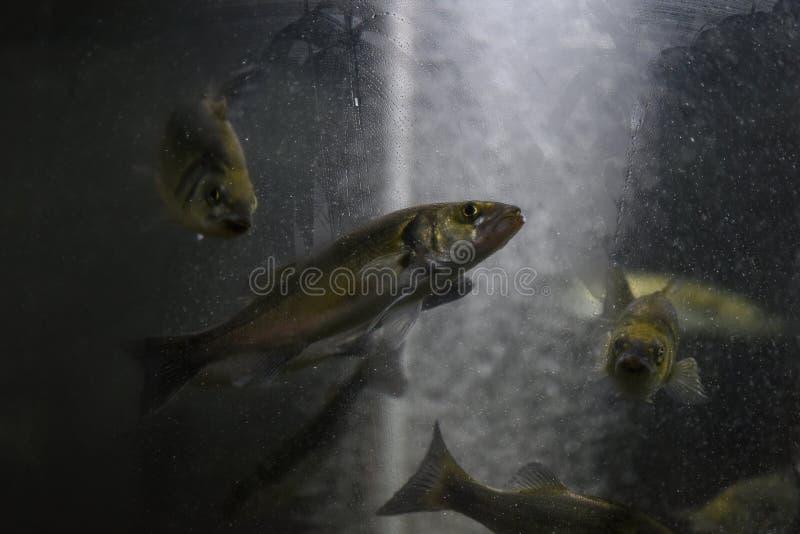 Peixes em um frasco de vidro Família dos arenques Olhares através do vidro misted imagens de stock royalty free
