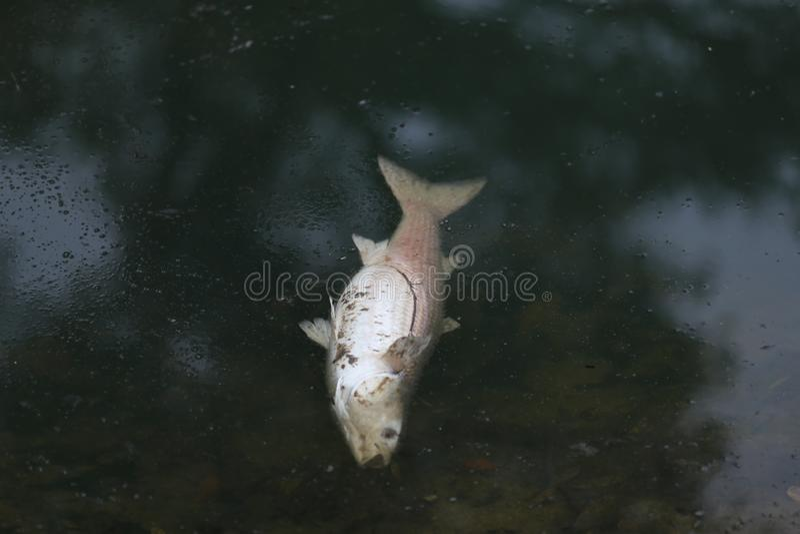 Peixes em um lago poluído imagem de stock royalty free
