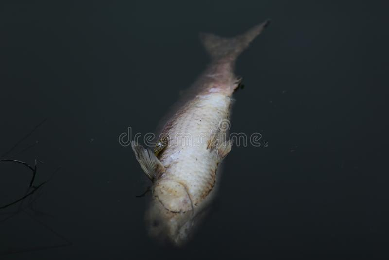Peixes em um lago poluído fotos de stock royalty free