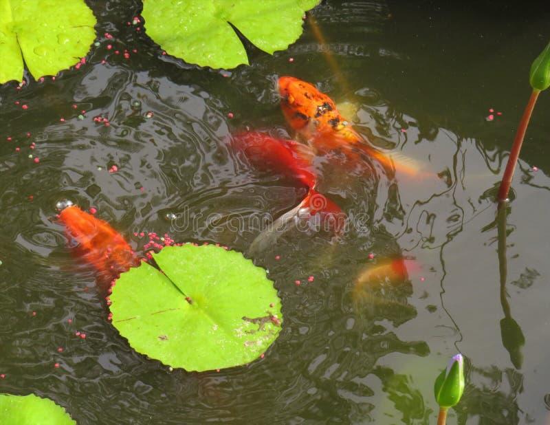 Peixes em uma alimentação da lagoa imagens de stock royalty free