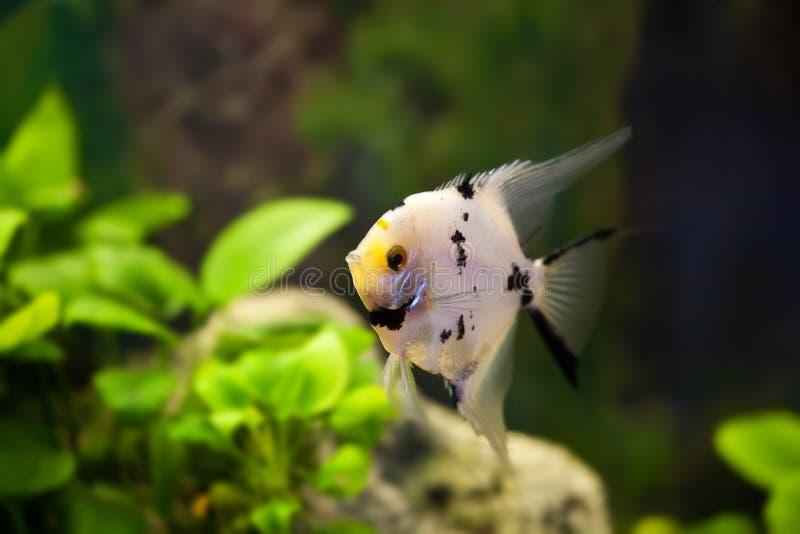 Peixes escalares do aquário nas algas verdes foto de stock royalty free
