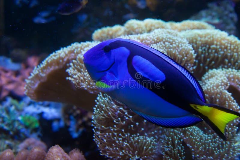 Peixes exóticos do aquário imagem de stock