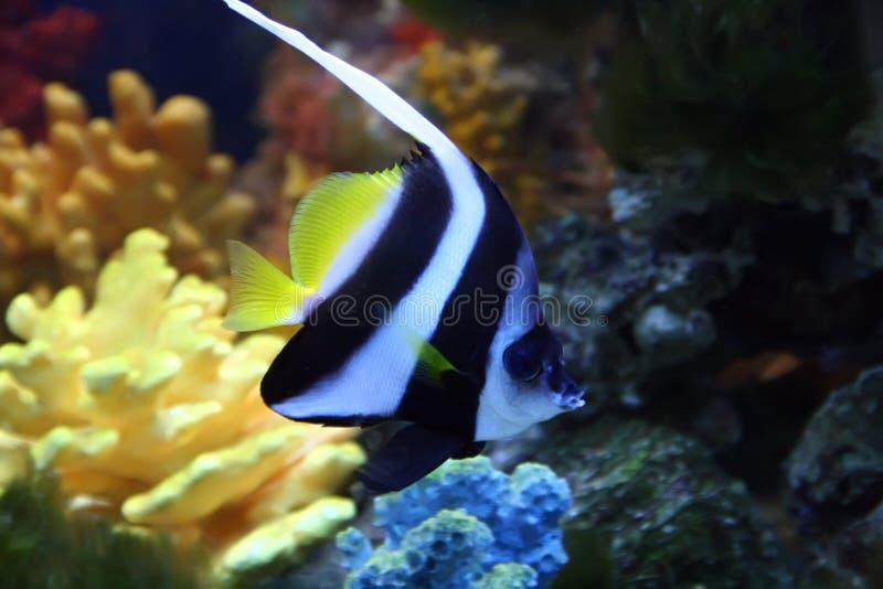 Peixes exóticos do saltwatrer fotos de stock