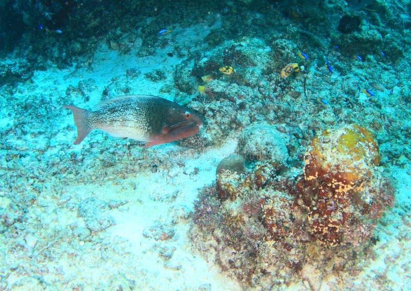 Peixes fêmeas parrotfish Preto-veado fotografia de stock royalty free