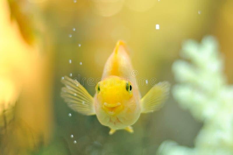 Peixes felizes do papagaio do ouro no aquário fotos de stock royalty free